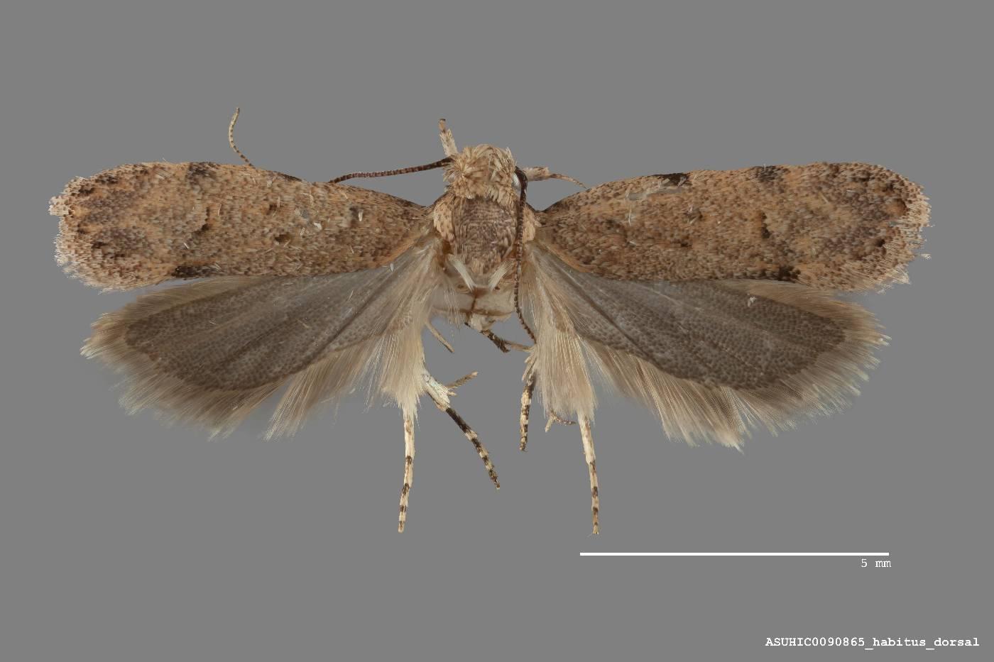 Friseria cockerelli image