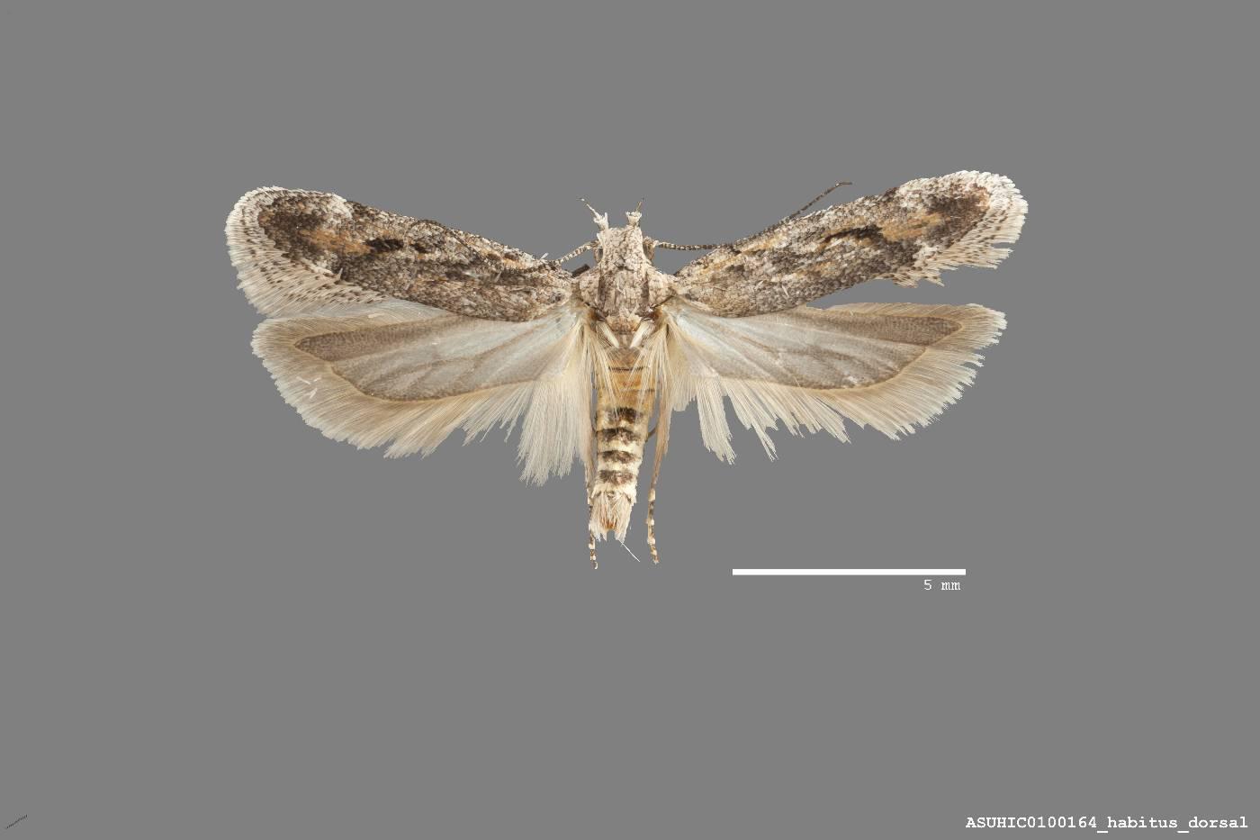 Filatima nigripectus image