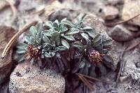 Image of Townsendia aprica