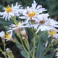 Image of Eurybia glauca