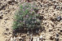 Image of Astragalus spatulatus