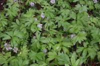Image of Hydrophyllum capitatum