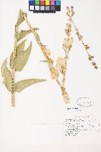 Penstemon palmeri image