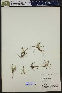 Carex hallii image