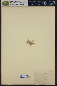 Image of Astragalus debilis