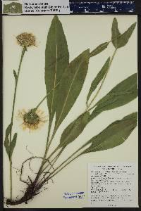 Pyrrocoma crocea var. crocea image