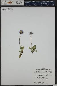 Erigeron grandiflorus image
