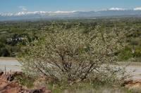 Image of Prunus mahaleb