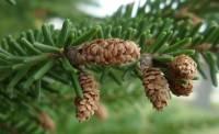 Picea orientalis image