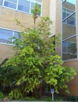 Image of Cunninghamia lanceolata