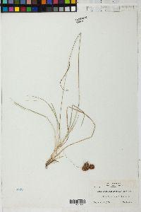Image of Rhynchospora axillaris