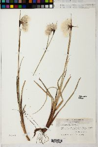 Image of Eriophorum polystachyon