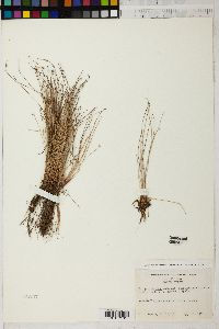 Isolepis cernua image