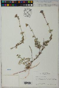 Glandularia aristigera image