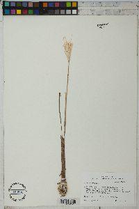 Pancratium hirtum image