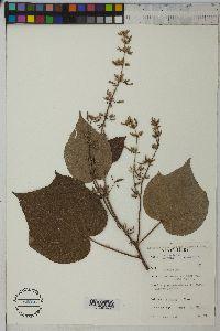 Image of Triumfetta cordifolia