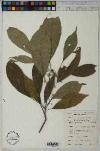 Image of Rinorea oblongifolia