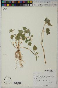 Viola canadensis image