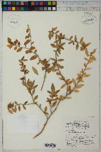 Image of Scyphellandra virgata