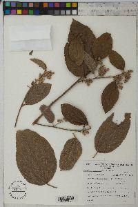 Image of Belotia mexicana
