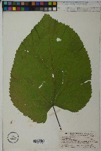 Image of Tilia glabra