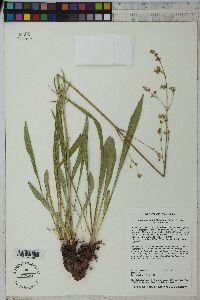 Valeriana edulis image