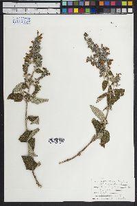 Image of Salvia keerlii