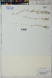 Tagetes micrantha image