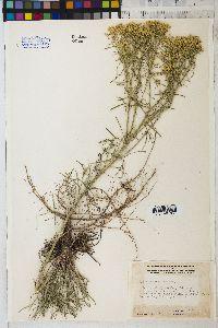 Hymenoxys ambigens image