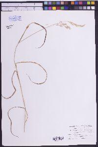 Bromus marginatus image
