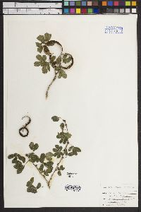 Calliandra rupestris image
