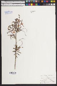 Mimosa camporum image