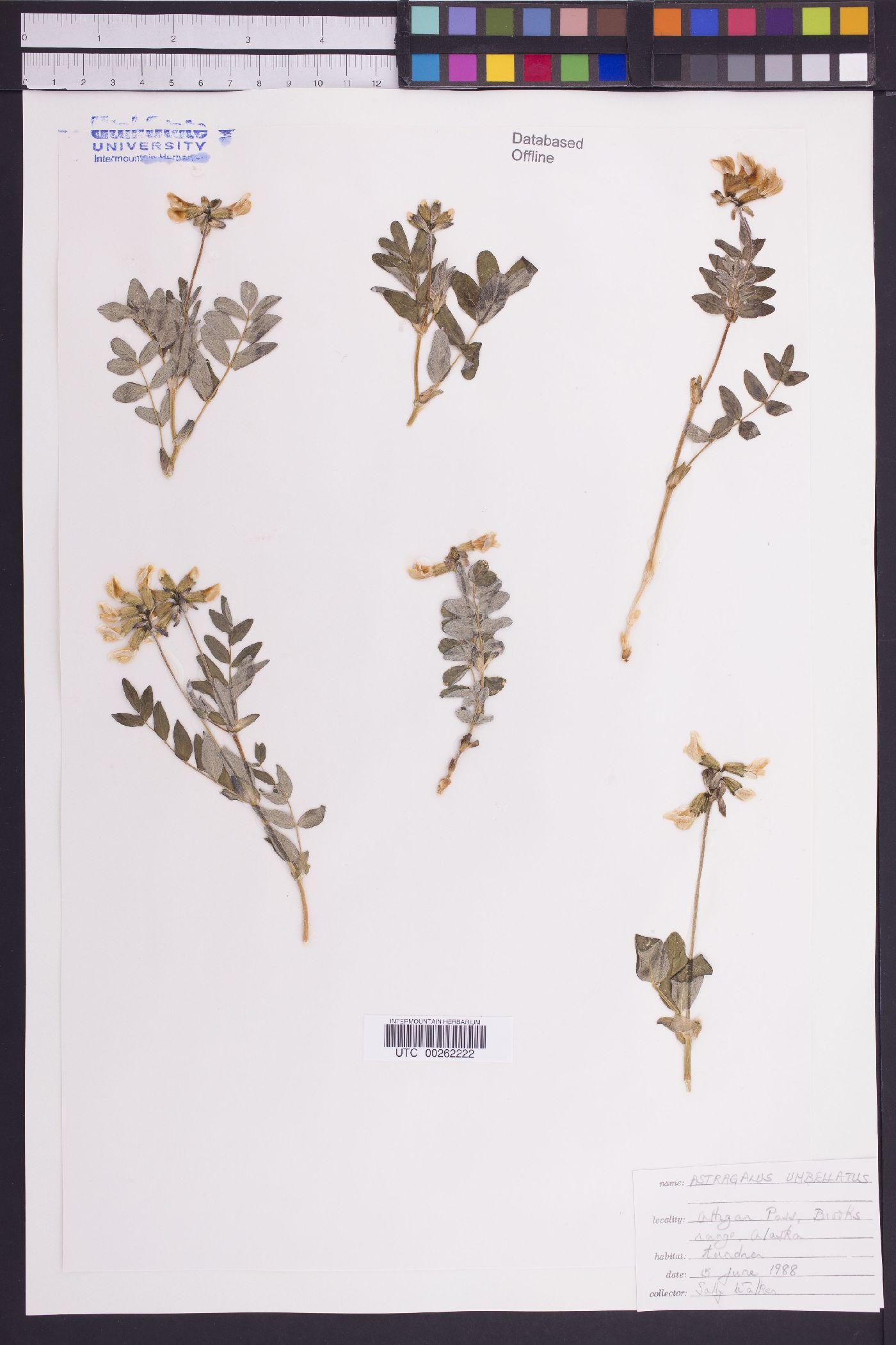 Astragalus subumbellatus image