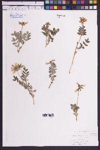 Image of Astragalus subumbellatus