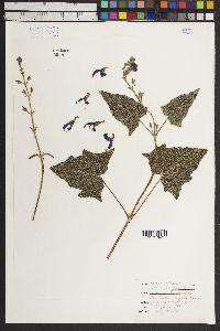 Image of Salvia mendax