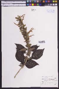 Image of Salvia concolor