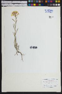 Erysimum asperum image