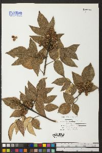 Image of Rhus ciliolata