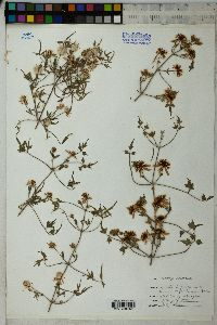 Clematis drummondii image