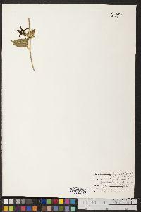 Image of Vincetoxicum pilosum