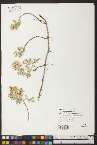 Sophora nuttalliana image