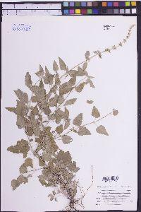 Agastache wrightii image