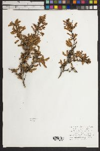 Image of Vachellia rigidula