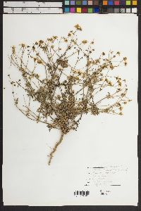 Melampodium sericeum image