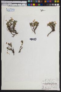 Image of Salvia axillaris