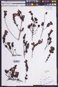 Image of Leucophyllum pringlei