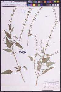 Salvia amissa image