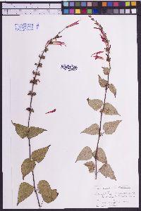 Image of Salvia gesneraeflora