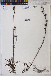 Penstemon ramosus image