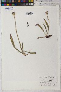 Agoseris aurantiaca image